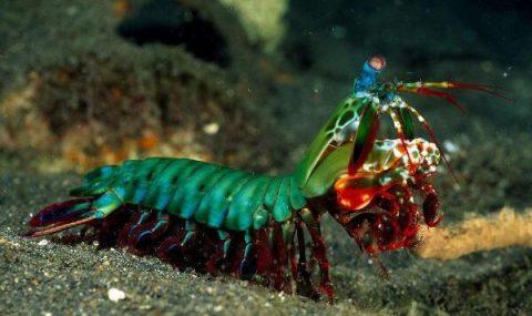 雀尾螳螂蝦,蟬形齒指蝦蛄,紋華青龍蝦